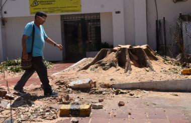 Árbol de caucho cartagenero podado en el antejardín de una empresa, ubicada en la carrera 57 con calle 75 del barrio El Prado.