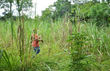 En la vereda solo hay 10 hectáreas cultivadas .