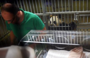 Un veterinario atiende al bebé panda nacido el viernes. Atenta Huan Huan, la mamá panda.