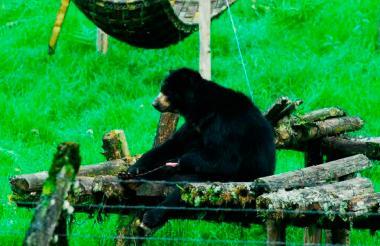 'Chucho' en la Reserva Natural de Río Blanco en Caldas donde vivió 18 años.