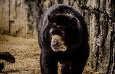 El oso en el zoológico de Barranquilla.