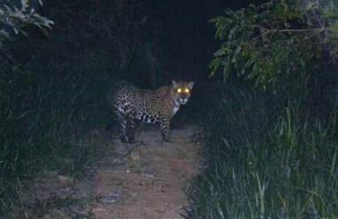 Este jaguar fue captado en la Sierra, en 2014.