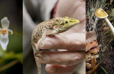 Una nueva especie de begonia, un lagarto Anolis Heterodermus, descubierto en una expedición de Colombia Bio y nuevas especies de hongos amanita.