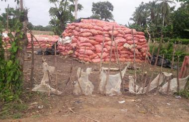 Los productores de maíz están recogiendo la cosecha sin mayores garantías, para que no se les pierda en el campo.