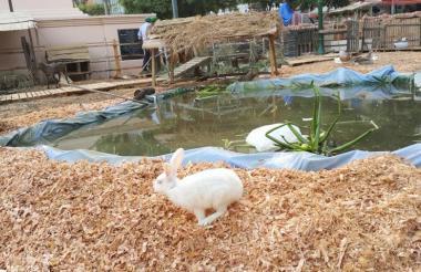 Un conejo pasa a un costado del lago que fue construido en el pesebre de la Plaza de Bolívar.