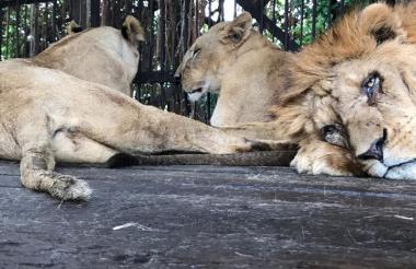 Tres de los seis leones, dos hembras y un macho, acostados en el piso de su jaula.