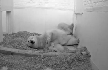 Imagen del osezno publicada por el zoológico.