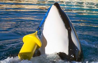 Wikie es la orca que permanece en un zoológico en el sur de Francia.