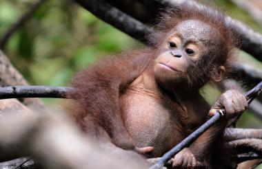 Orangután huérfano bebé jugando en el Centro Internacional de Rescate de Animales.
