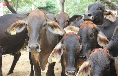 Ejemplares del ganado bovino en el Atlántico.