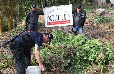 Los agentes del CTI de la Fiscalía durante la erradicación de la marihuana.