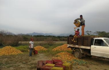 Momento en el que los mangos son botados en un predio rural  de Ciénaga.