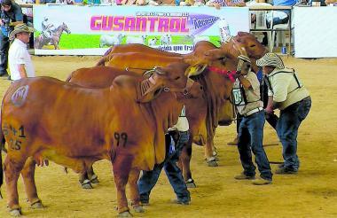 La raza cebuina Brahman, con gran presencia en todas las regiones del país gracias a sus características, será gran protagonista en la Feria Ganadera de Montería.