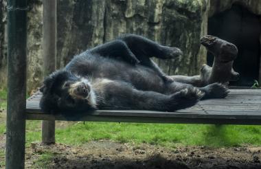 El oso de anteojos que llegó al zoológico el año pasado desde Manizales.
