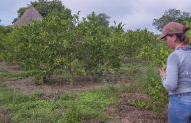 Una mujer inspecciona unos terrenos de limones en el corregimiento de El Uvito.