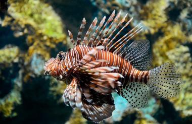 La investigación analizó 25 especímenes de pez león que fueron sacados en el mar de Taganga.