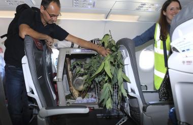 El Koala ya ubicado en un par de asientos de un vuelo comercial.