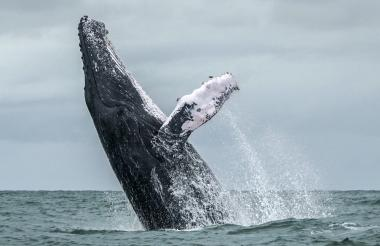 Una ballena jorobada en el Pacífico colombiano.