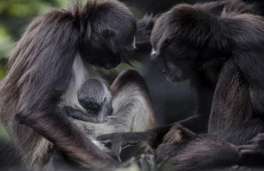 La cría junto a sus padres en el Zoológico Santa Fe.