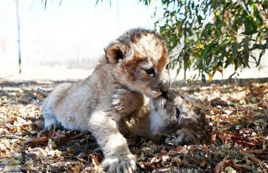 Los pequeños leones nacieron en Sudáfrica.