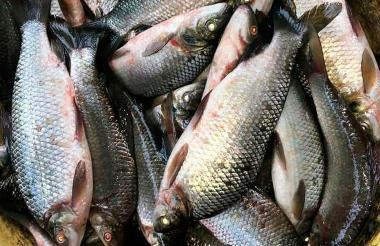 Hay peces en cantidades, proclaman los pescadores.