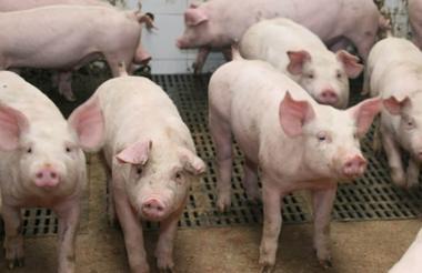 Son 23 animales de la especie porcina.