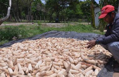 Un excombatiente de las Farc clasifica los maíces cosechado en la granja de la ETCR de la vereda de Pondores, corregimiento de Conejo, municipio de Fonseca.