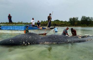 Cadáver de cachalote hallado sobre una playa indonesia en noviembre con seis kilos de plástico en el estómago, incluidos 115 vasos.