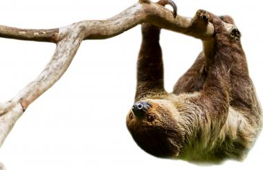 El perezoso de dos dedos es una de las 12 especies de Córdoba que se encuentra listada en peligro de extinción.