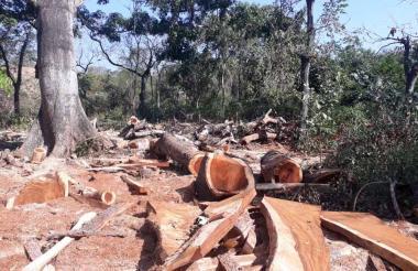 La madera estaría siendo comercializada, según la autoridad municipal.