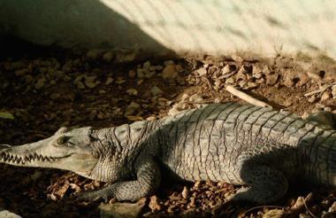 Caimán aguja o caretabla (Crocodylus acutus).