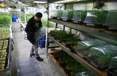Una plantación en el dispensario California Compassionate Care Network en Los Ángeles.