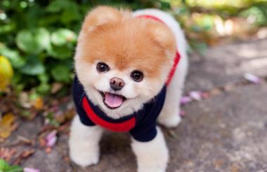 El sábado 19 de enero falleció 'Boo'. La noticia la anunciaron sus dueños en las redes sociales del can.