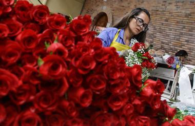 En una las fincas de flores de Asocolflores, se prepararon los cultivos de flores que se exportaron a Estados Unidos, Japón y Europa para San Valentín.