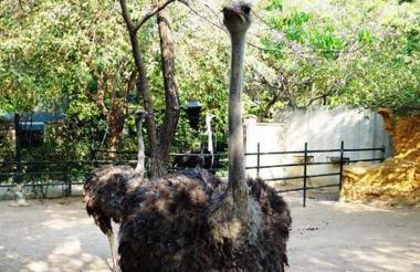 Avestruces, la especie de ave más grande que existe.