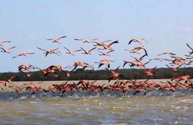 Un grupo de flamencos rosados volando sobre la laguna Navío Quebrado en Camarones ubicada en el departamento de La Guajira.