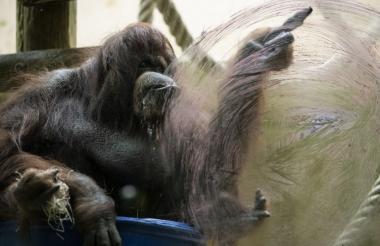 La orangutana Nénette.