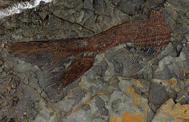Fósil de un tipo de pez, de hace 66 millones de años.