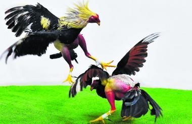 Para pelear, los gallos deben tener mínimo nueve meses, momento en el que, según los galleros, alcanzan la madurez para enfrentar los combates.