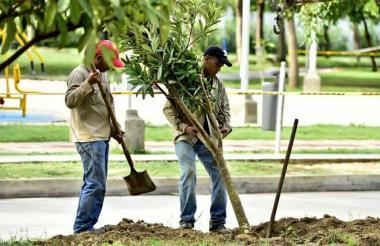 Dos trabajadores siembran un árbol en un parque de Barranquilla.