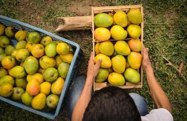 Cajas de mangos cultivados en la Costa Caribe. La producción de esta fruta puede mover nuevas inversiones en la región.