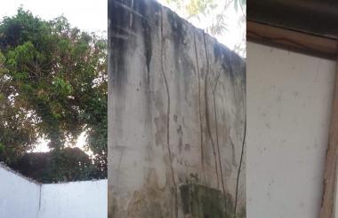 La frondosidad del árbol se divisa desde las casas vecinas. Parte del comején del árbol se ha desplazado hacia la pared y el techo de una vivienda.