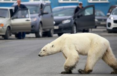 Imagen de la osa polar en la zona de Talnaj.