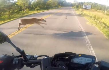 Imágenes previas al choque entre el ciervo y el motociclista.