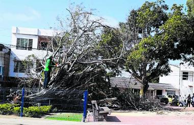 La Agencia Distrital de Infraestructura realizó la poda del árbol.