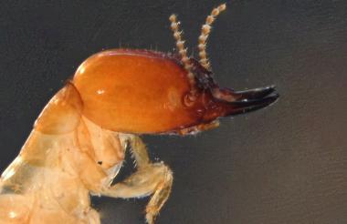 Proneotermes macondianus, termita hallada en cercanías de la Sierra Nevada.