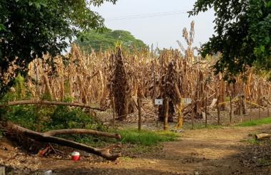 Así permanecen las plantaciones de banano en La Guajira en la que se confirmó la presencia del hongo.