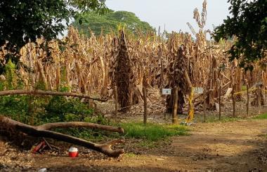 Cultivo de banano afectado.