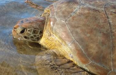 Esta es la tortuga de la especie Chelonia mydas que pretendía ser vendida.