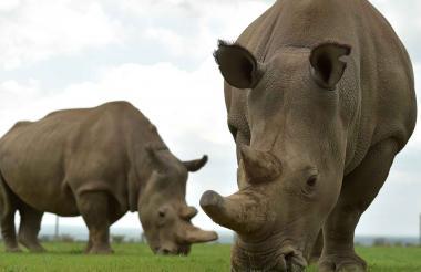 Najin y Fatu, las dos únicas rinocerontes blancos del norte restantes pastan en su prado.